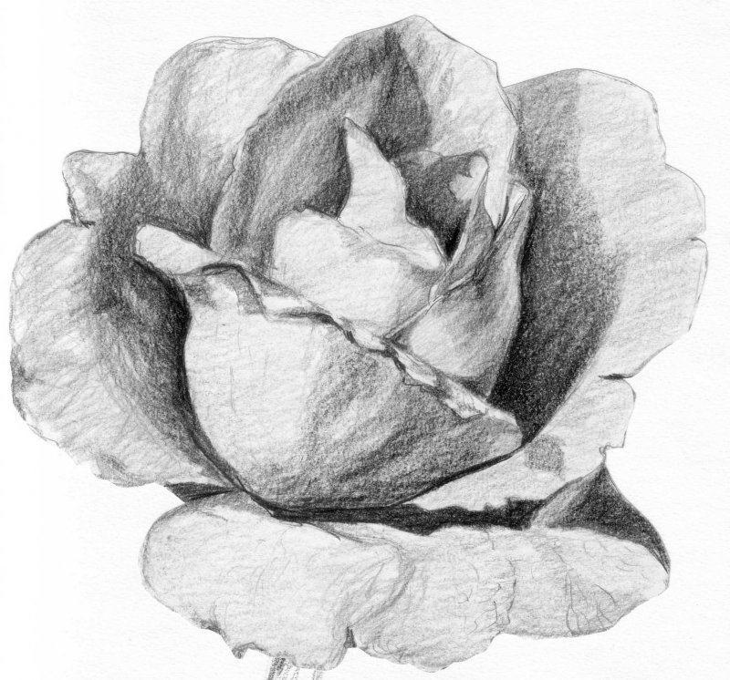 Rose cr ations beaux arts dessin de mlkjmlk n 19913 vue 5986 fois - Rose a dessiner facilement ...