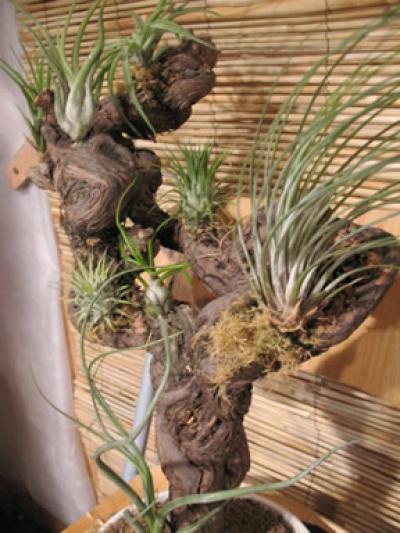 Cr ation art floral vigne cep de vigne et tillandsias for Cep de vigne decoration