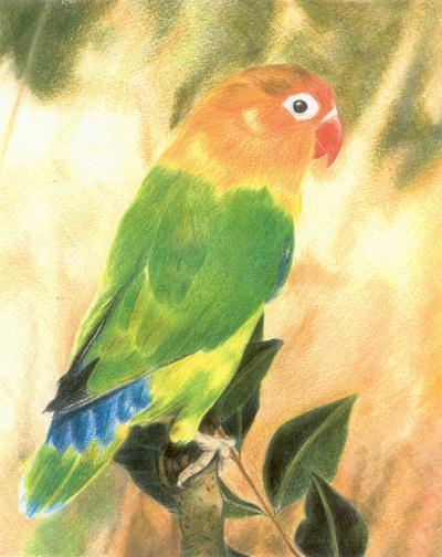 Grande perruche cr ation beaux arts dessin de supermei n 4 939 vue 3 781 fois - Dessin perruche ...